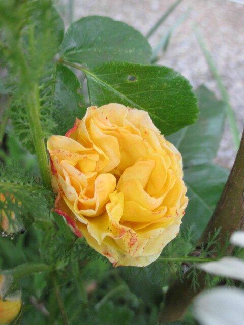 fleur et broc 5 juin 007
