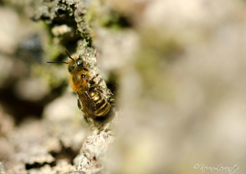 Osmie crochue - Hoplitis adunca (2)
