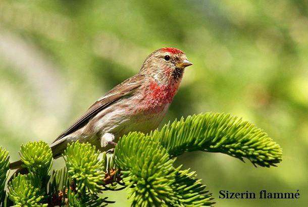 Quel est donc cet oiseau photos d 39 oiseaux for Oiseau longue queue ventre jaune