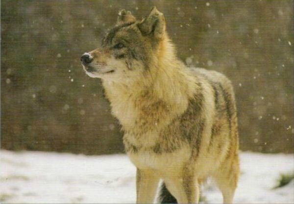 CPM Loup de Sibérie