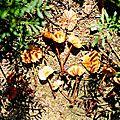Marasmius maximus 1993 0627 (3)