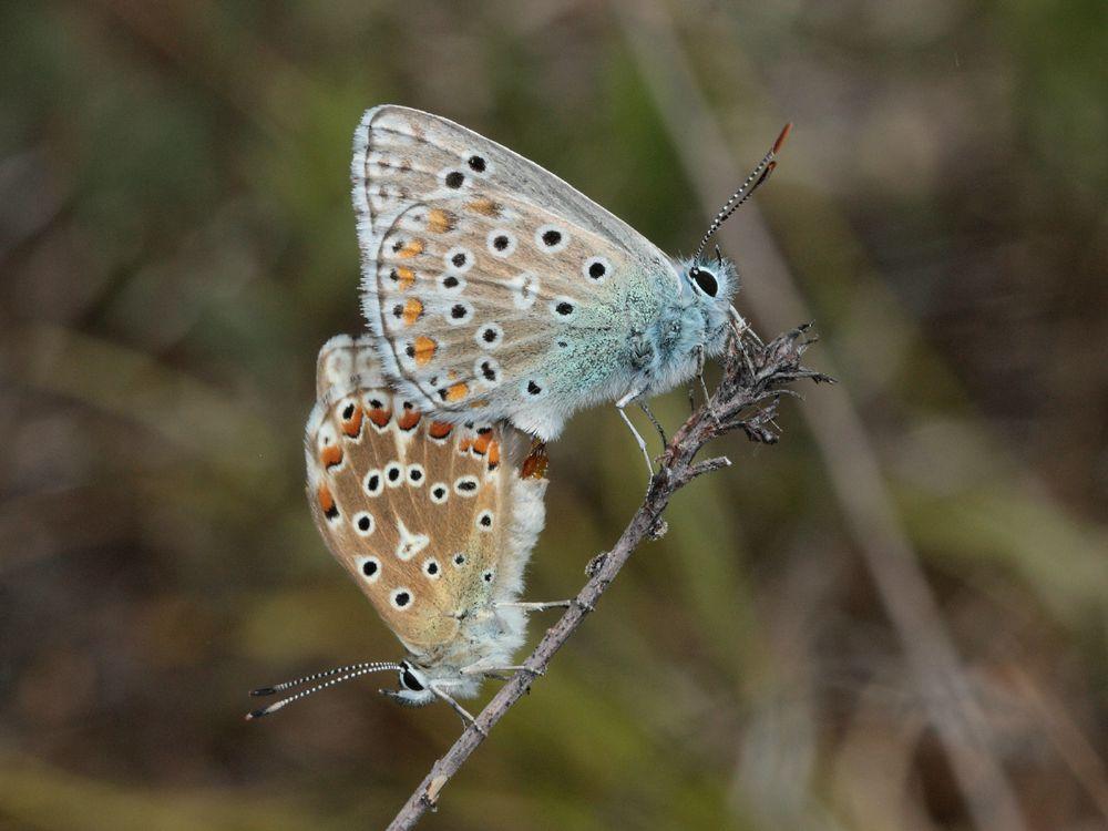 polyommatus_bellargus_accoupl