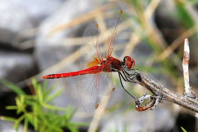 1024px-Sympetrum_fonscolombii_0034
