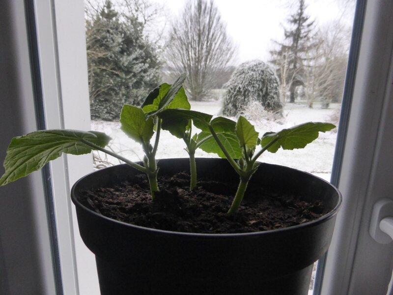4-potimarrons semis(1)