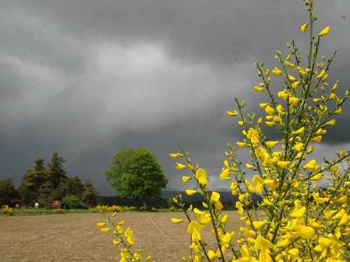 2008 05 30 Des fleurs de genet avec le soleil et un temps orageux à l'arrière