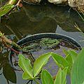 grenouille verte à l'affut
