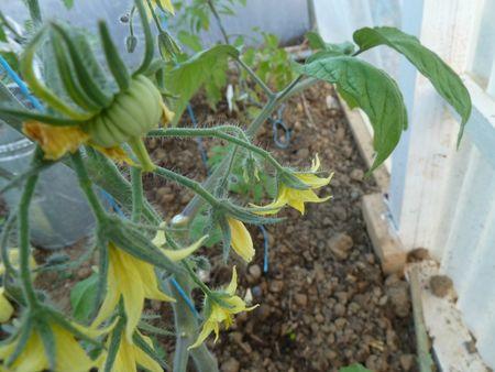 27-premières tomates stupice et joyau d'oaxaca (5)