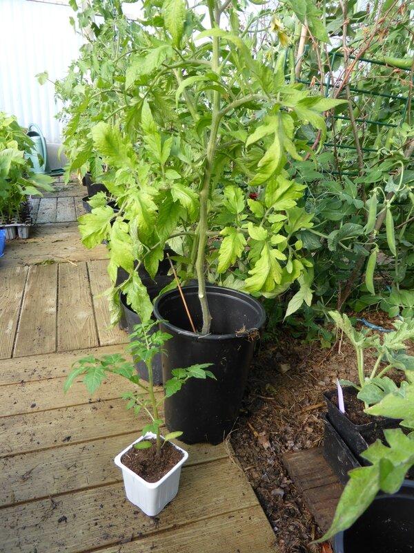 14-tomate cerise aaron (4)