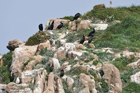 0070-Cormorans-hupps-nicheurs-sur-Brhat