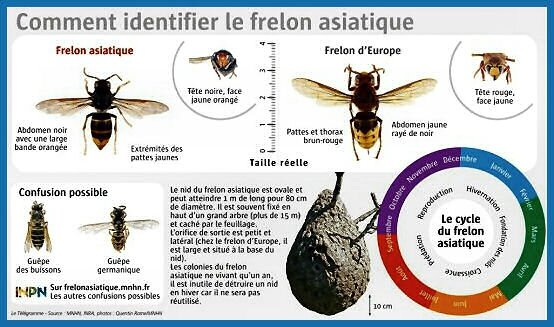 frelon asiatique (2)