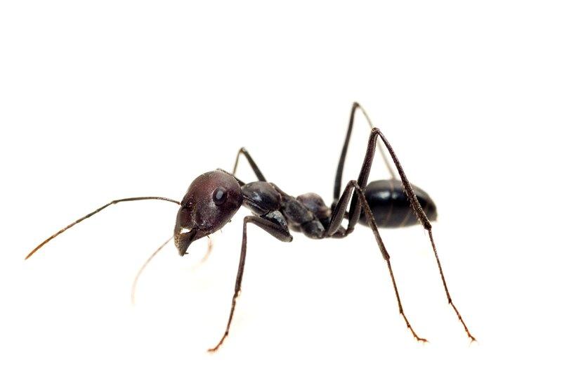 piege a fourmi carabiens le forum. Black Bedroom Furniture Sets. Home Design Ideas