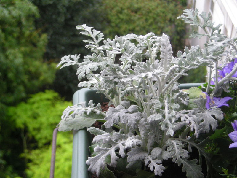 Plante argentée