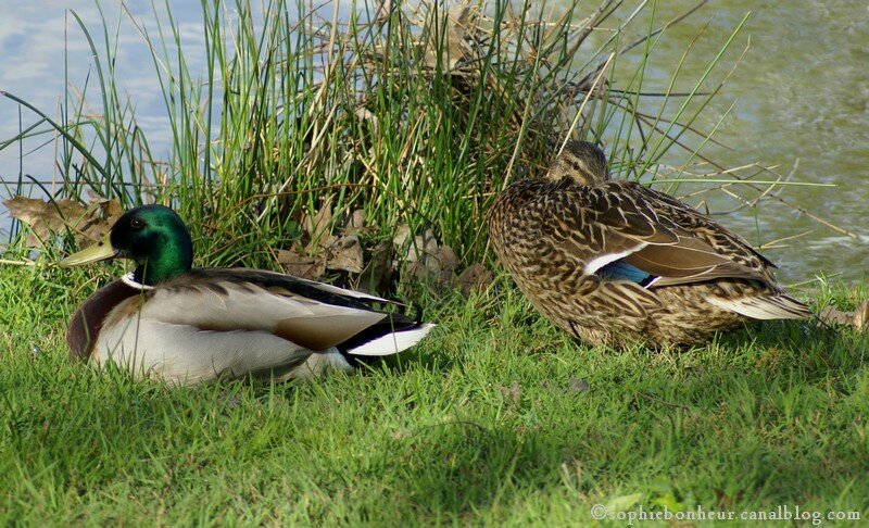 chemin couple canards