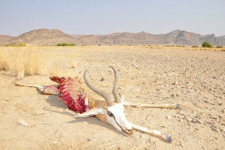 Springbok, vallée de l'Hoanib, Namibie