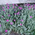 2008 07 05 Mes coquelourdes en fleur