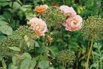 allium purple sensation-rose charles austin