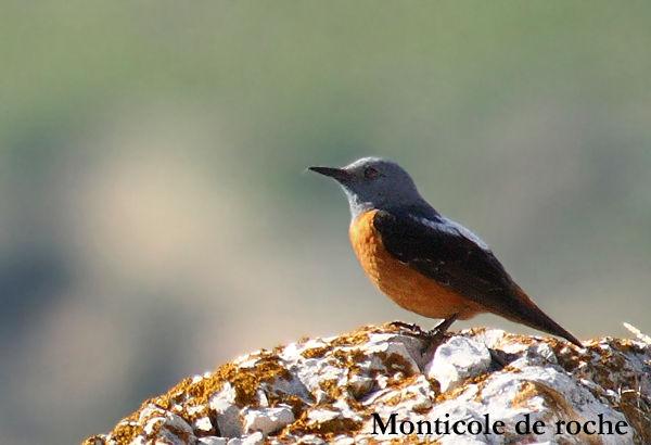 monticole_roche