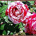 Roses camélia 180515