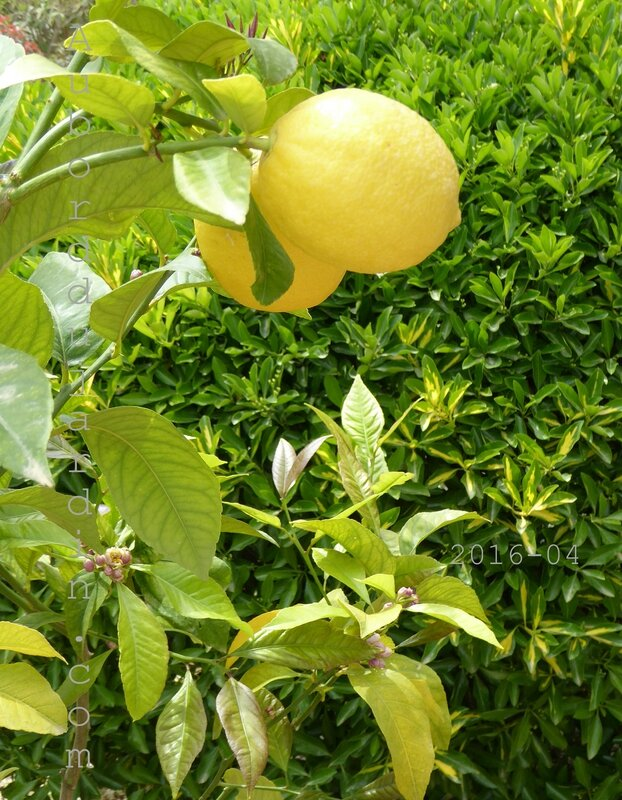 Citronnier Copie