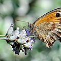 amaryllis amoché de l'aile