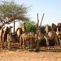 Marche aux chameaux et oasis