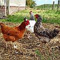 Les oeufs des poules du jardin