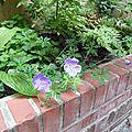 Les plantes de la cour en juin - côté ombre
