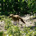 J'ai vu le loup, le renard et la belette