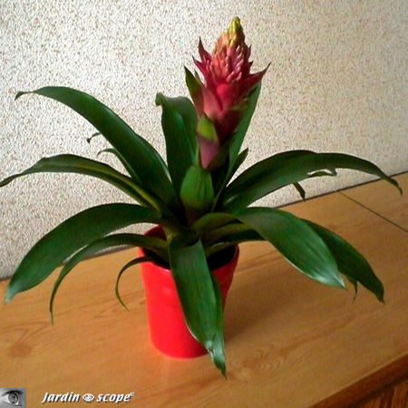 Le guzmania une plante exotique tr s color e le for Plante pendante