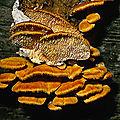 Antrodiella zonata - coriolus brevis (ニクウスバタケ)