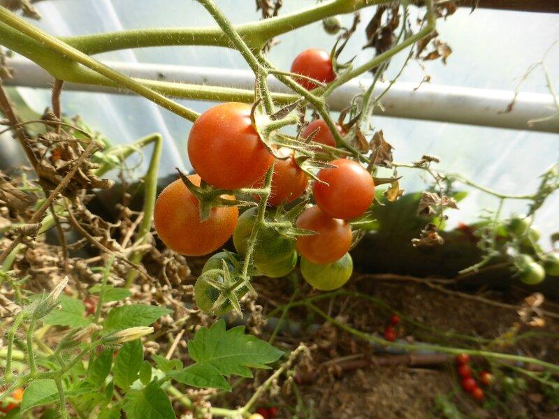 11-tomates (2)