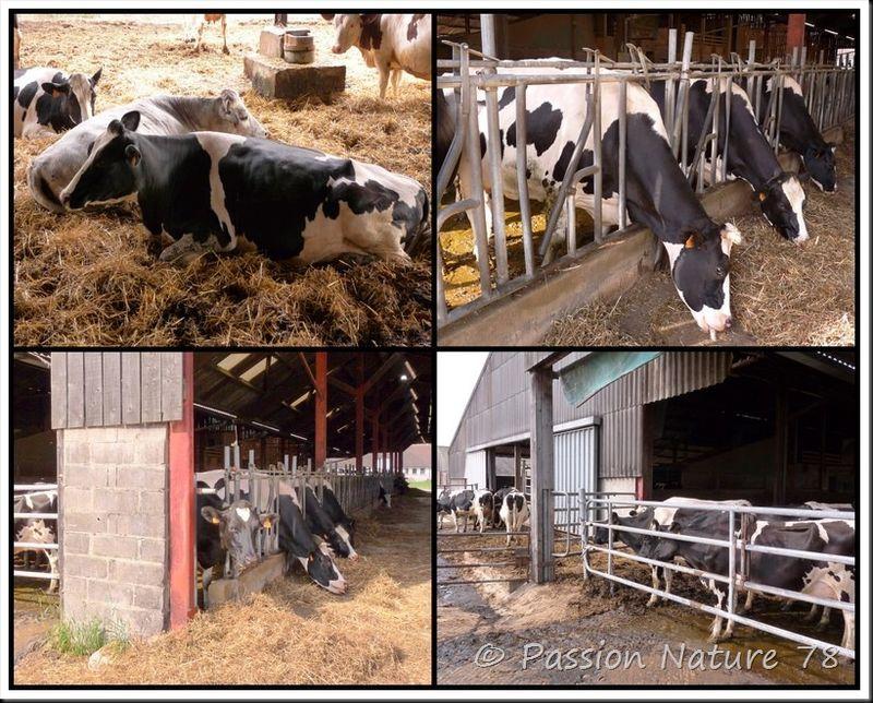 La vache Prim'Holstein (8)