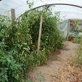 2009 09 12 Tomates sous serre