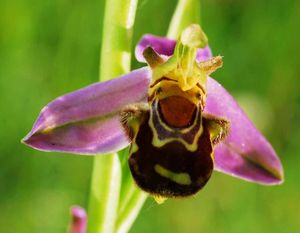ophrys_abeille5