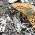 060peer_vlinder11