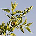 Bourgeons de lilas blanc caré
