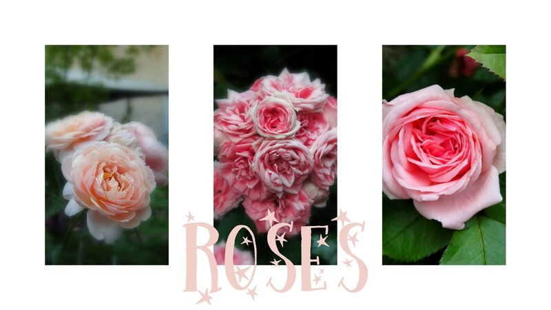 roses roses photo belles roses anglaises