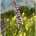 Orchis moucheron : gymnadenia conopsea