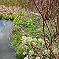 caltha palustris et pétasites blancs