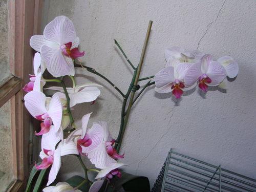 2008 08 22 Mon orchidée en fleur
