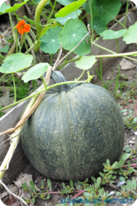 Courge V2