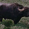 Ce que dit le bufflon