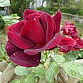 rose bordeaux1