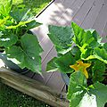 COURGETTES 4