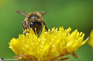 Sedum-reflexum-et-abeille