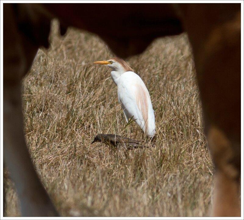 MS heron garde boeufs vache étourneau chaleur 270716