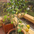 Nos citrons du jardin