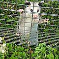 L'opossum