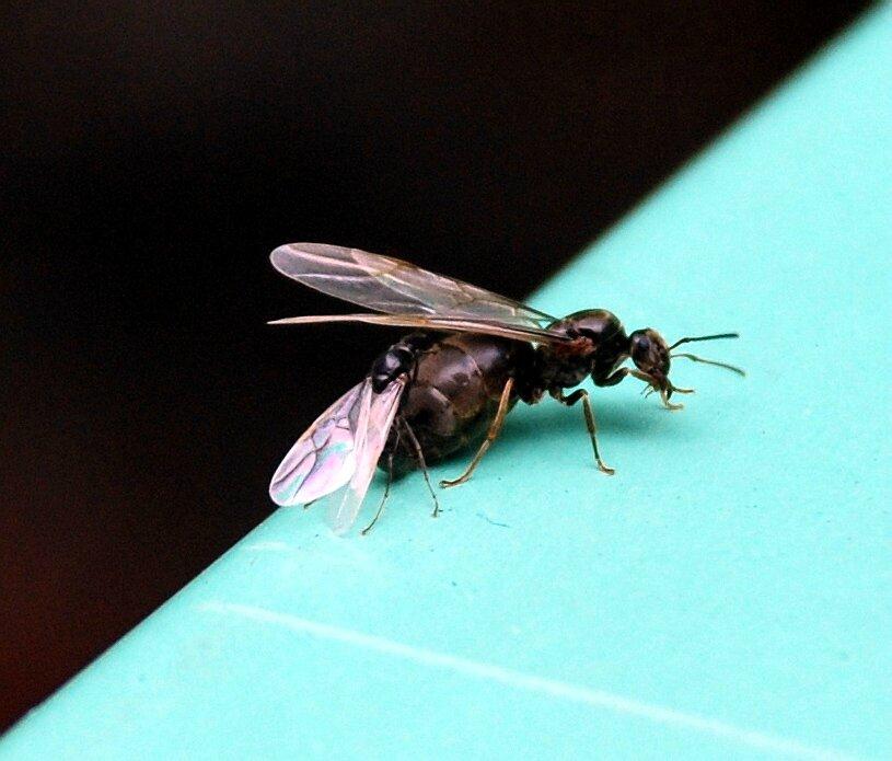 Lasius sp (femelle et mâle)