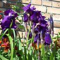 encore des iris
